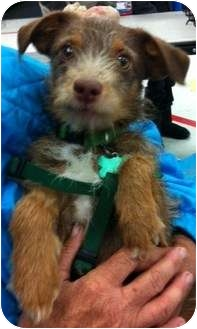 Terrier (Unknown Type, Small) Mix Dog for adoption in Studio City, California - Russell
