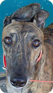 Greyhound Dog for adoption in Longwood, Florida - Pink Zone
