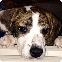Adopt A Pet :: Faith - Wilmette, IL