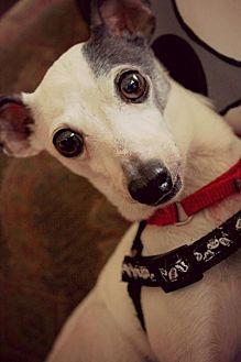 Italian Greyhound Dog for adoption in Richardson, Texas - Annie
