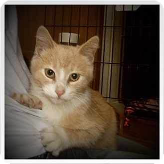 Domestic Shorthair Cat for adoption in Medford, Wisconsin - JOURNEY