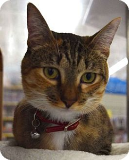 Domestic Shorthair Cat for adoption in Houston, Texas - Loretta