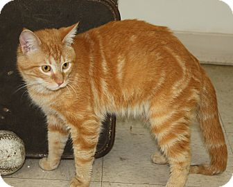 Domestic Shorthair Cat for adoption in Mt. Prospect, Illinois - Morris