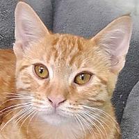 Domestic Shorthair Cat for adoption in Redondo Beach, California - Rusty