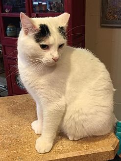 Domestic Shorthair Cat for adoption in McKinney, Texas - Ziggy
