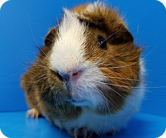 Guinea Pig for adoption in Lewisville, Texas - Tubby