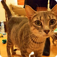 Domestic Shorthair Cat for adoption in Joliet, Illinois - Mamma Grey