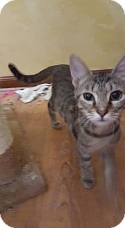 Domestic Shorthair Cat for adoption in Virginia Beach, Virginia - Daphne