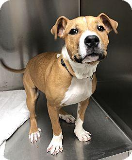 Retriever (Unknown Type)/Hound (Unknown Type) Mix Puppy for adoption in Boston, Massachusetts - A - STELLA