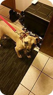 Mastiff/Boxer Mix Dog for adoption in Romeoville, Illinois - Millie