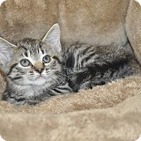 Adopt A Pet :: LuLu (Bengal Mix) - New Smyrna Beach, FL