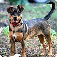 Adopt A Pet :: Duke Ellington - Austin, TX
