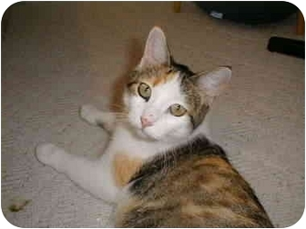 Domestic Shorthair Cat for adoption in Proctor, Minnesota - Hannah
