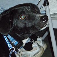 Adopt A Pet :: Huey - Baton Rouge, LA