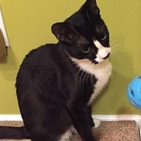Domestic Shorthair Cat for adoption in New Bern, North Carolina - FULCHER