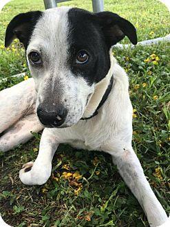 Labrador Retriever Mix Dog for adoption in Miami, Florida - Adele