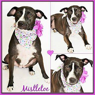 American Pit Bull Terrier/Staffordshire Bull Terrier Mix Dog for adoption in Phoenix, Arizona - Mistletoe