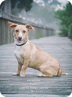 Corgi/Dachshund Mix Dog for adoption in Webster, Texas - Princess Poppy