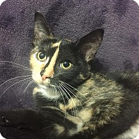 Adopt A Pet :: Dove - Dallas, TX