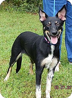 Australian Kelpie Dog for adoption in Williamsport, Maryland - Phoenix (45 lb) Video!