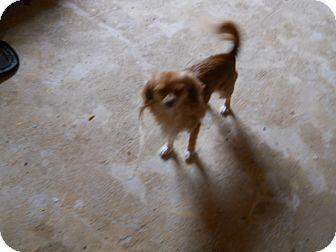 Chihuahua/Pomeranian Mix Dog for adoption in dewey, Arizona - Lewis