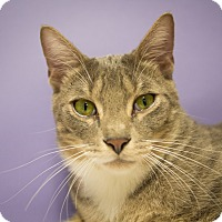 Domestic Shorthair Cat for adoption in Houston, Texas - Oswald
