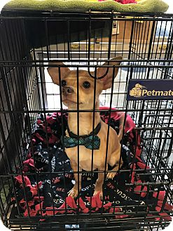Chihuahua/Terrier (Unknown Type, Small) Mix Dog for adoption in Houston, Texas - Chester