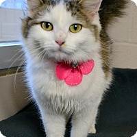 Domestic Mediumhair Cat for adoption in Plano, Texas - MOPSY - FOUND WITH PINK COLLAR