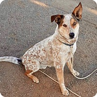 Adopt A Pet :: URGENT-Handsome Jo - Burbank, CA