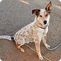 Adopt A Pet :: URGENT-Handsome Jo - Burbank, CA