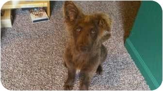 Australian Shepherd/Border Collie Mix Puppy for adoption in Bakersfield, California - Khari