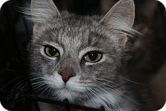 Siberian Kitten for adoption in Santa Monica, California - Pandora