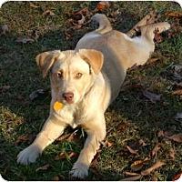 Adopt A Pet :: Blue-PENDING - Allentown, PA