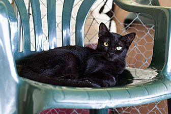 Domestic Shorthair Cat for adoption in Carencro, Louisiana - Pippa