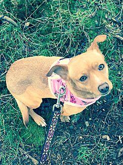 Chihuahua Mix Dog for adoption in Surrey, British Columbia - Lena