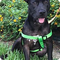 Adopt A Pet :: Lilikoi - Houston, TX