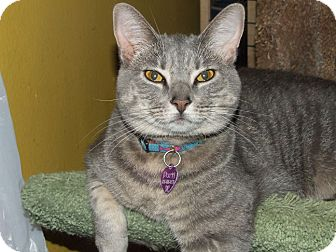Domestic Shorthair Cat for adoption in Burbank, California - Purrl