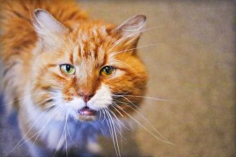 Domestic Mediumhair Cat for adoption in Lincoln, Nebraska - Thomas