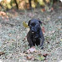 Adopt A Pet :: Desiree - Groton, MA