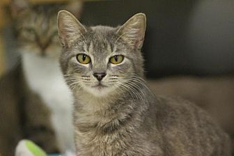Domestic Shorthair Cat for adoption in McKenzie, Tennessee - Frack