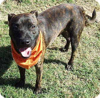 Pit Bull Terrier Mix Dog for adoption in Watauga, Texas - Bear