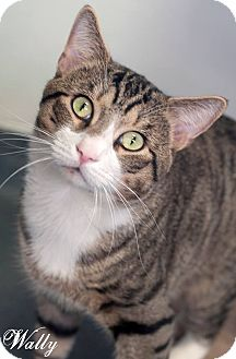 Domestic Shorthair Cat for adoption in Manahawkin, New Jersey - Wally