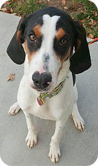 Plott Hound Mix Dog for adoption in Fruit Heights, Utah - Lucy