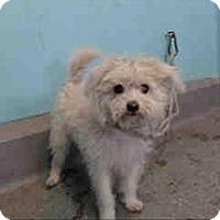 Adopt A Pet :: Marshmallow - Encino, CA