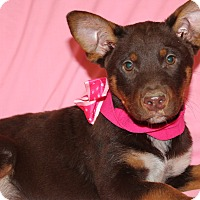 Australian Shepherd/Australian Cattle Dog Mix Puppy for adoption in Southington, Connecticut - Sabrina