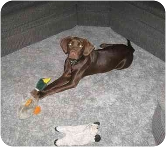 Labrador Retriever Puppy for adoption in Chandler, Indiana - Clyde