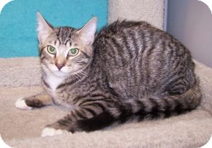 Domestic Shorthair Kitten for adoption in Colorado Springs, Colorado - K-Emery7-Matthew