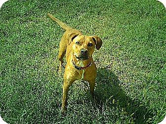 American Bulldog/Mastiff Mix Dog for adoption in Stuarts Draft, Virginia - Dinah