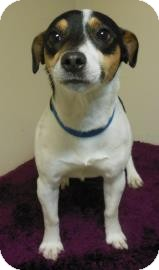Jack Russell Terrier/Rat Terrier Mix Dog for adoption in Gary, Indiana - Buster