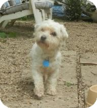 Bichon Frise Mix Dog for adoption in Antioch, Illinois - Brady ADOPTED!!